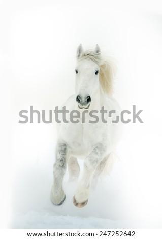 "draft perseron horse runs gallop on the white ""milk"" background - stock photo"