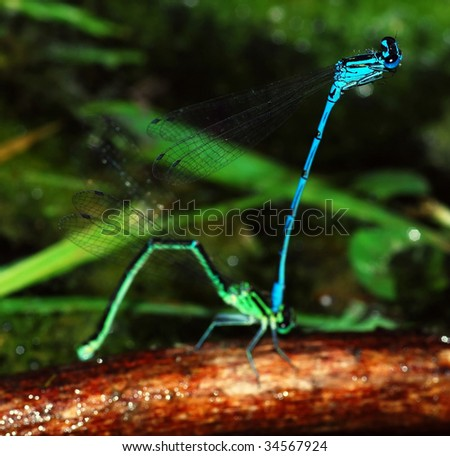 Dragon fly breed