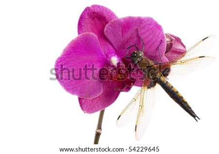 Dragon-fly. Dragonfly sits on the red flower of orchid - stock photo