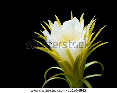 dragon fruit flower on black background - stock photo