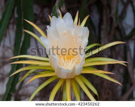 Dragon fruit flower on blooming. - stock photo