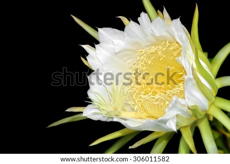 Dragon fruit flower on blooming (hylocereus cactaceae) - stock photo