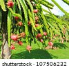 dragon fruit in garden - stock photo