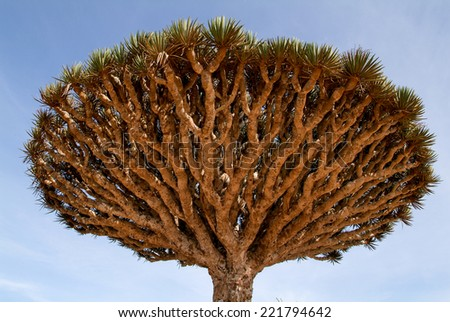Dragon's Blood Tree at the island of Socotra, Yemen - stock photo