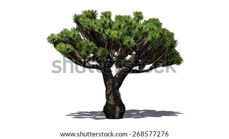Dragon Tree - isolated on white background