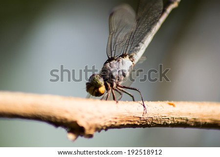 Dragonflies are twigs Island