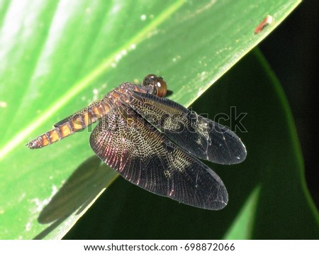 Dragonfly brown, Amazon rainforest, order Odonatar.  Brazil