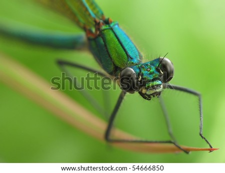 Dragonfly Calopteryx virgo sitting on blade - stock photo