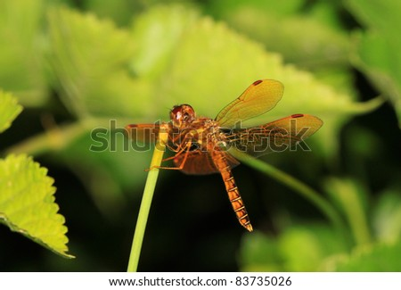 Dragonfly in green leaves landing on a branch