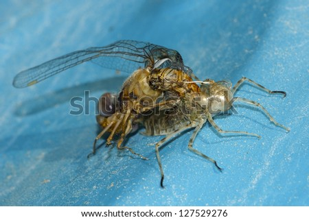 Dragonfly Metamorphosis - stock photo