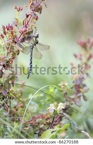 Dragonfly Migrant Hawker (Aeshna mixta) - autumnal makro photo - stock photo