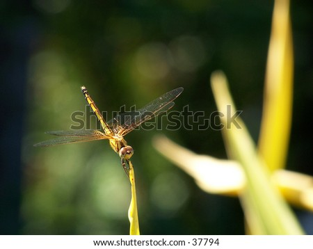 Dragonfly on leaf - stock photo