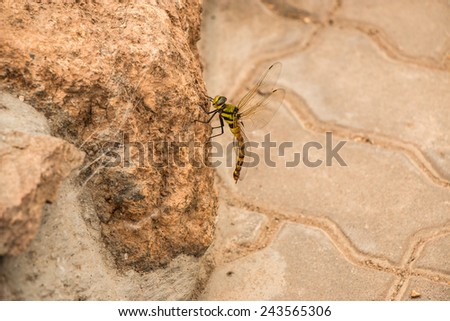 Dragonfly on the rock - stock photo