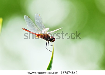 Dragonfly on tip of green leaf