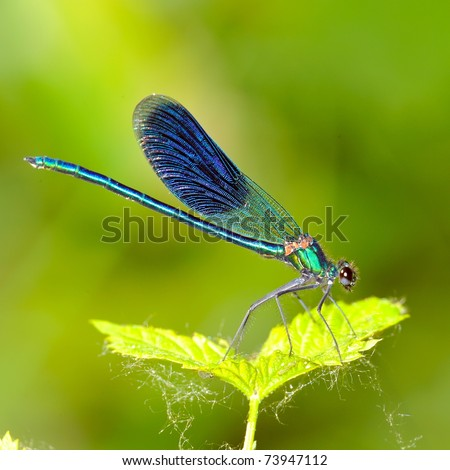 dragonfly outdoor (coleopteres splendens) - stock photo