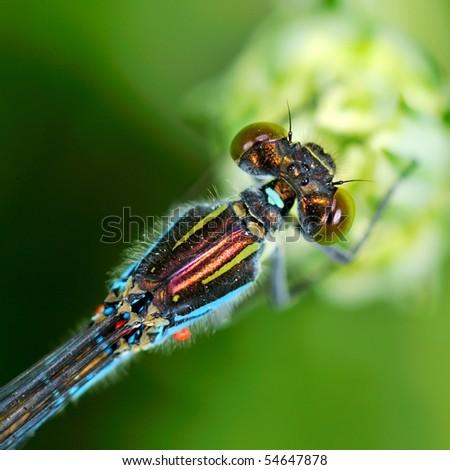dragonfly outdoor (erythromma viridis) - stock photo