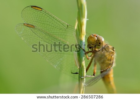 Dragonfly perched on a blade of grass, photographed frontally, on a green background