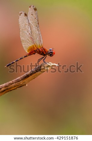Dragonfly perched on a branch - stock photo