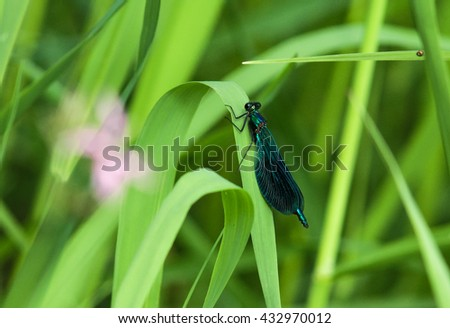 "Dragonfly ""Pretty Woman"" is sitting on a blade of grass"