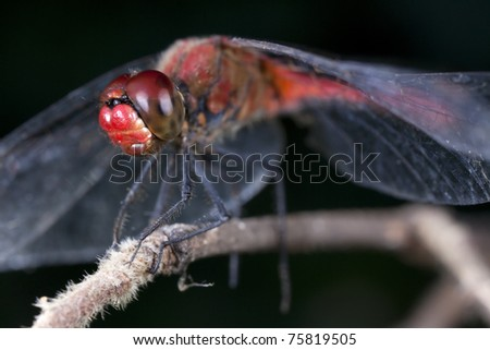 Dragonfly Ruddy Darter (Sympetrum sanguineum) on dark background - Focus on head. - stock photo