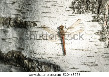 dragonfly sitting on a birch trunk close-up