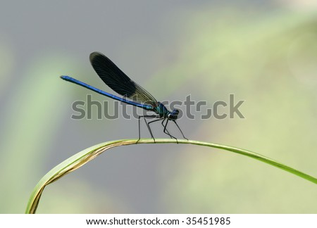Dragonfly sitting on a blade of grass in the early morning