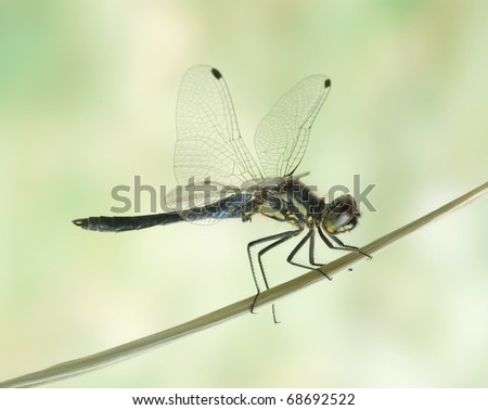 Dragonfly Sympetrum danae (male) on the plant - stock photo