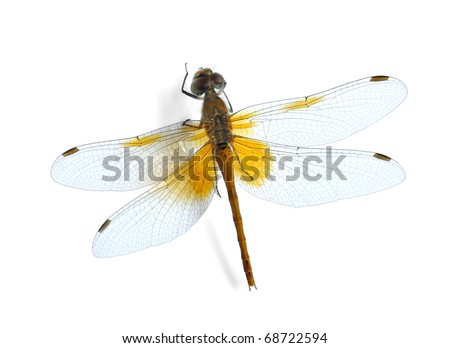 Dragonfly Sympetrum flaveolum on the white background.