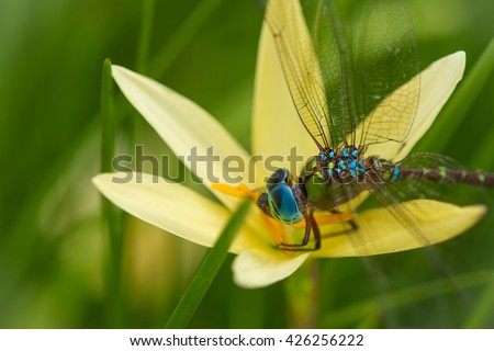 Dragonfly with flower . macro Dragonfly. Dragonfly in natural background .Little dragonfly. Blue Dasher Dragonfly.