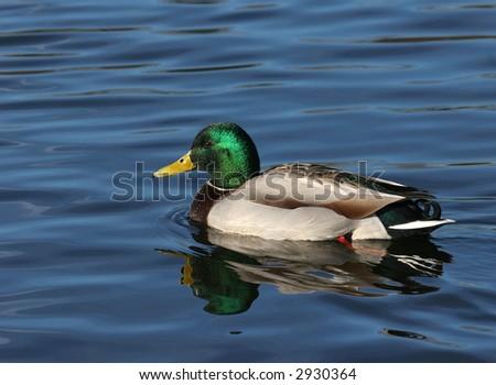 drake returns to lake for mating season - stock photo