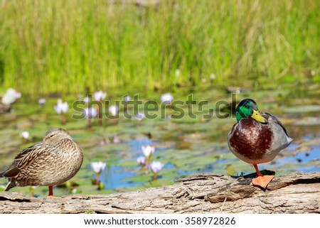 Drake with the green head standing on a log on a pond with water lilies - stock photo