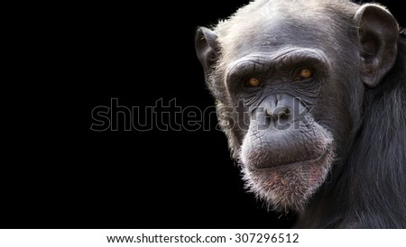 dramatic close up of a chimpanzee on a black background with room for text