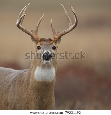 Dramatic close-up of a Whitetail Buck Deer with his ears back - stock photo