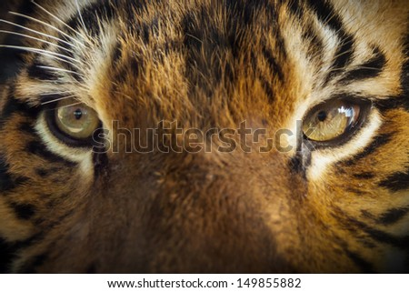Dramatic close up photo of a Tiger's Eyes in outdoor sunlit lighting. Very shallow focus on tiger's eyes as it had its nose directly on the glass that separated us at our local zoo. - stock photo