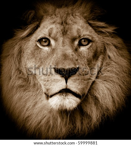 Dramatic lion portrait - stock photo