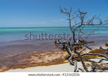 Dramatic looking sapless tree and orange seaweed at the beach under tranquil blue sky and turquoise ocean - stock photo