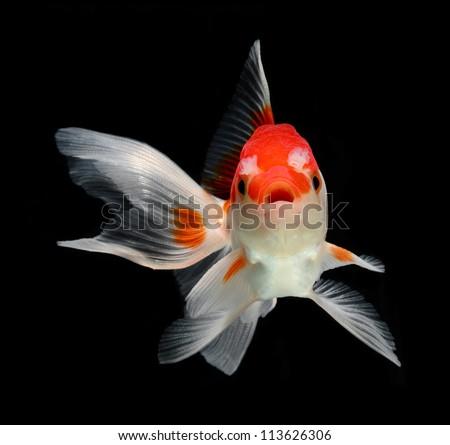 dramatic posed goldfish isolated on black background - stock photo