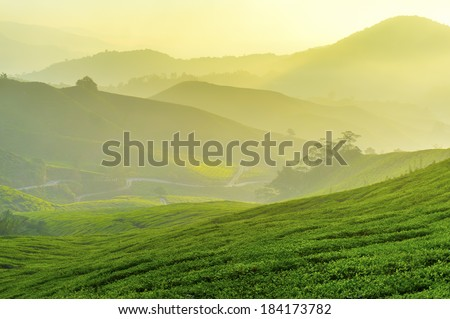 dramatic sunlight and fog at tea plantation early morning - stock photo
