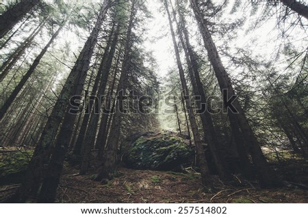 dramatic view of huge pine trees in a forest with moss covered boulder - stock photo