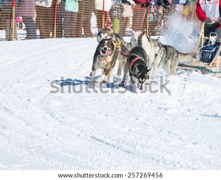 Draught dogs in the winter on Kamchatka