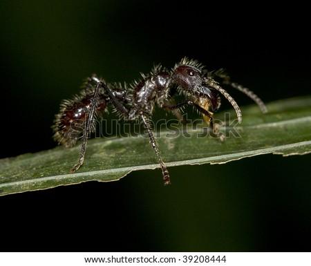 dreaded costa rican bullet ant also called conga or paraponera clavata, selva verda, saripigui, costa rica. exotic venomous neurotoxic insect in tropical setting - stock photo