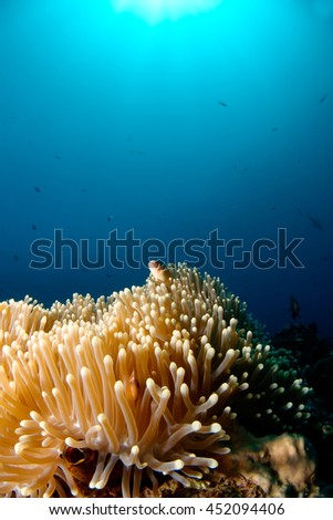 Dreamer. Clown fish looks out of the anemone coral. - stock photo