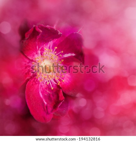 Dreamy, abstract image of a red rose, with bokeh - stock photo