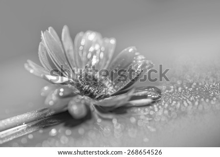 Dreamy composition Gerbera flower, booked light, black & white image - stock photo