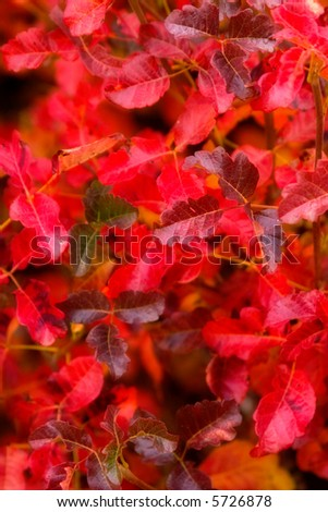 Dreamy Effect on a patch of bright red poison oak (0567) - stock photo