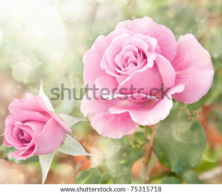 Dreamy image of a beautiful pink rose in the garden - stock photo