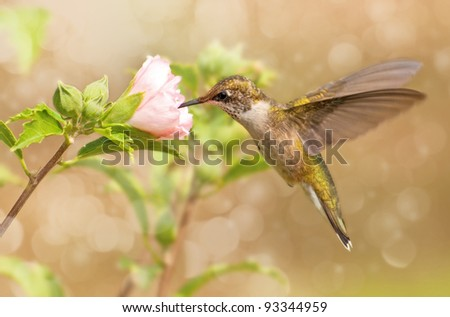 Dreamy image of a young male Hummingbird hovering - stock photo