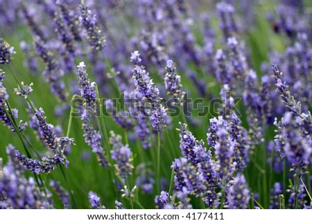 dreamy lavender background; differential focus - stock photo