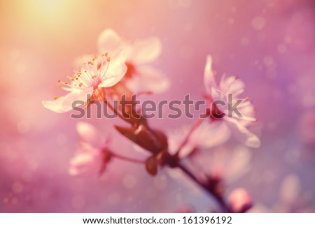 Dreamy photo of cherry flower in spring - stock photo