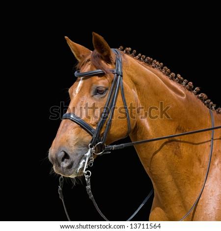 dressage, chesnut horse - isolated on black - stock photo